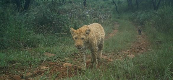 léopard rose en Afrique du Sud
