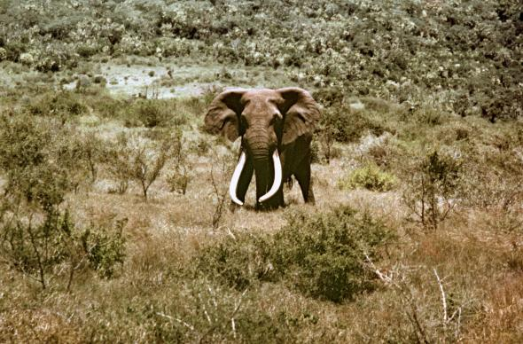 Ahmed shown here in 1963 lived a long life in Marsabit National Reserve after being granted protection by Kenya's President Jomo Kenyatta in 1970 PHOTOGRAPH BY FURLONG PHOTOGRAPHY, ALAMY