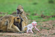 A rare white baby baboon photographed in South Luangwa National Park, Zambia.