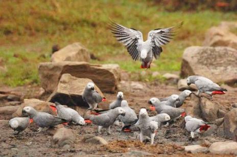 comportement-fuite-envol-gris-gabon-cacatoès-réflexe-survie-sentinelle-alerte-signal-signaux-perroquets-psittacidés-oiseaux-animal-animaux-compagnie-animogen-2