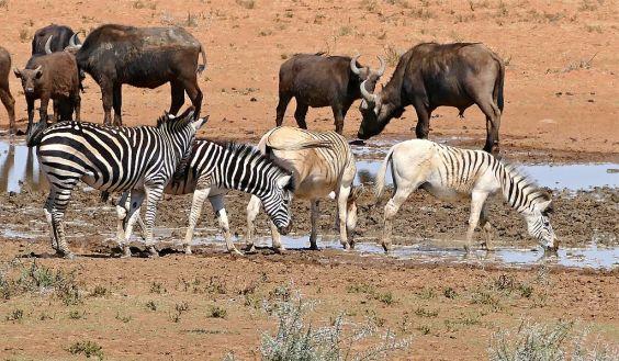 zebre et quagga rau