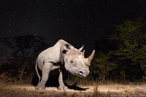 camera_trap_photo_of_a_black_rhino_at_night-_zambia_-_2013