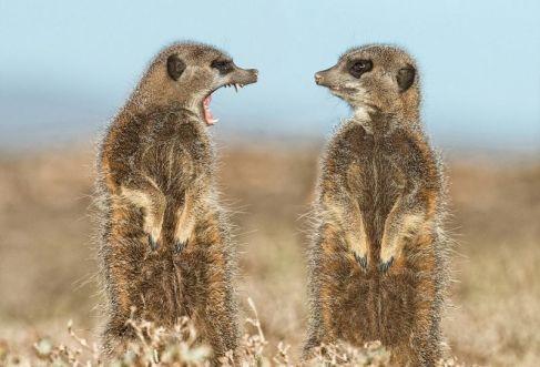 fighting-meerkats-comedy-wildlife-photography-awards-2016-shortlist