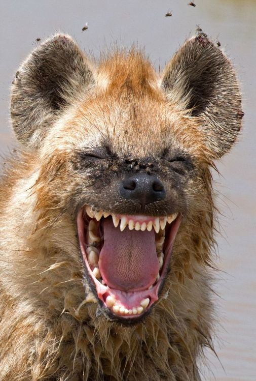 laughing-hyena-comedy-wildlife-photography-awards-2016-shortlist