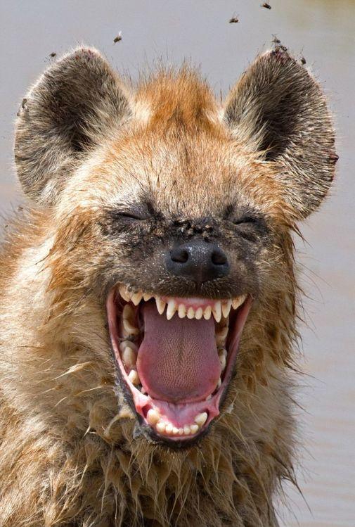 laughing-hyena-comedy-wildlife-photography-awards-2016-shortlist