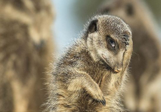 shy-meerkat-comedy-wildlife-photography-awards-2016-shortlist