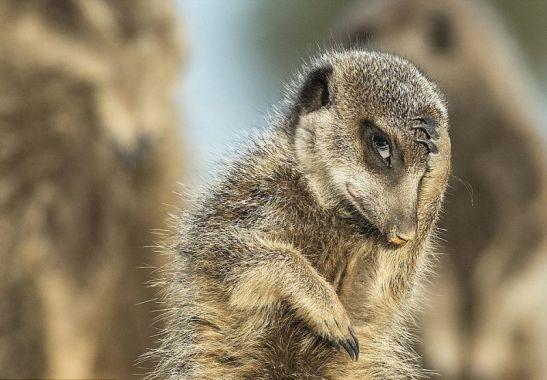 shy-meerkat-comedy-wildlife-photography-awards-2016-shortlist