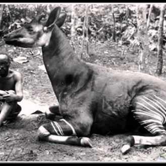 johnston-okapi-mbeti-hunter