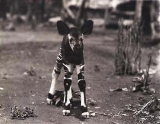 1er okapi capturé, décédé au bout de 10 jours