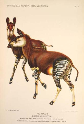 description okapis Johnstoni par Philip Lutley Sclater