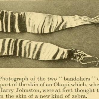 Pièces d'une peau d'Okapi en 1900
