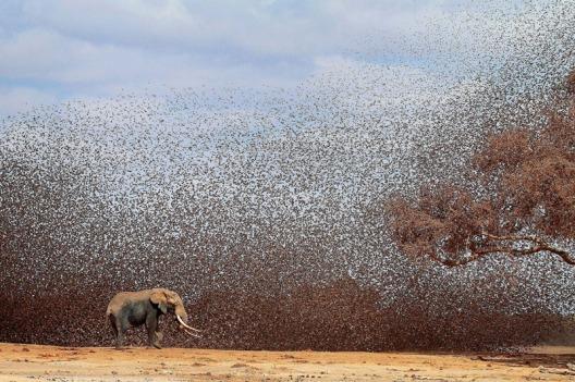 elephant-quelea-quelea