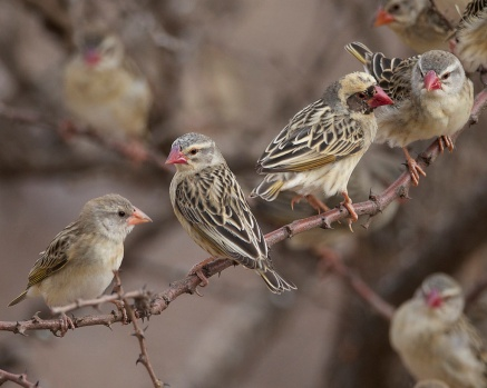 red-billed-quelea-quelea-quelea-juvenile-female-male-female-by-lip-kee