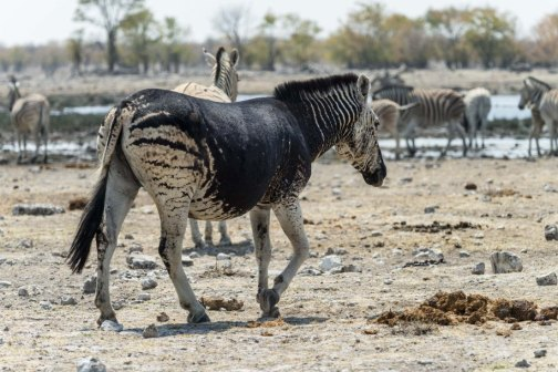 zebre-noir