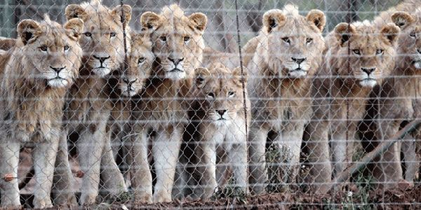 chasse-boite-lions
