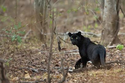 léopard noir en Inde