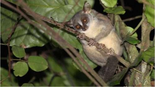 angola-galago