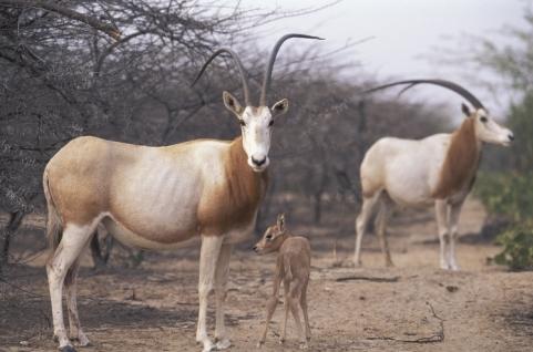 bebe-oryx-algazelle