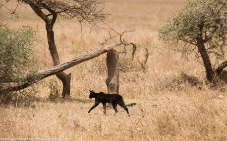 melanistic-serval-cat