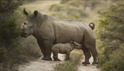 rhino-thandi-calf-january2017