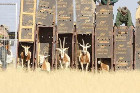 the-25-strong-herd-of-25-scimitar-horned-oryx-has-arrived-in-the-ouadi-rime-ouadi-achim-reserve-all-photos-courtesy-abu-dhabi-enviroment-agency
