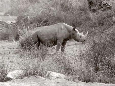 rhinoceros Longipes.jpg