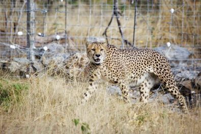 4.-The-translocated-cheetah-are-adjusting-well-to-their-new-surroundings-in-Liwonde-Copyright-African-Parks-Frank-Weitzer-1-768x512