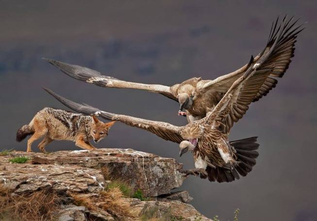 A black-backed jackal and Cape vultures fight over food at Giant's Castle, Drakensberg, South Africa par Willem Kruger