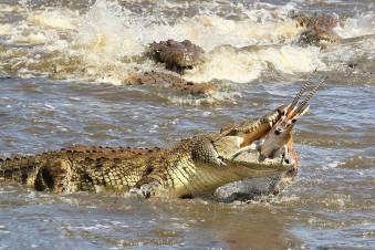 A crocodile feasts on a Thomson's gazelle in the Mara River, Maasai Mara National Park, Kenya par Diana Knight