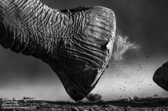 Botswana's Wildlife Photographer 2017 Kirsten Frost Encounters with Giants