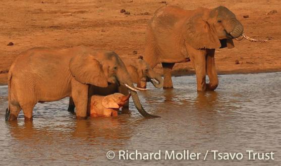 ELEPHANT ROSE TSAVO.png