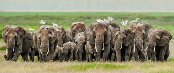 Elephants approaching in Amboseli National Park, Kenya par Brigitta Moser