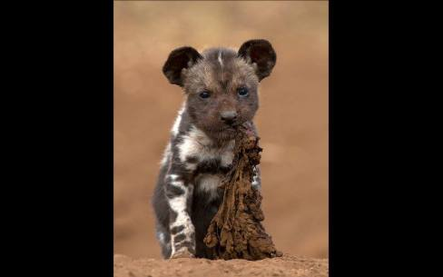Little champ in Zimanga Game Reserve, South Africa par Prelena Soma Owen