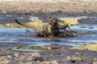 The perfect catch in Savute, Chobe National Park, Botswana par James Gifford