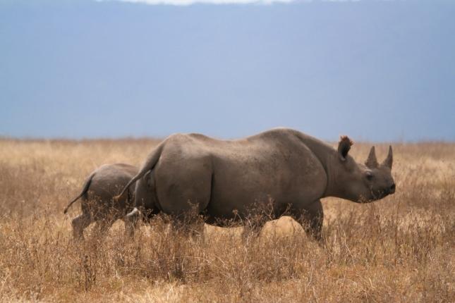 Rhino noirs (maman et bébé)