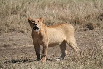ma lionne mais sans bébé leopard