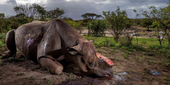 braconnage rhinoceros