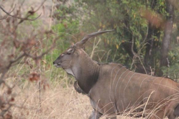 eland de derby cameroun